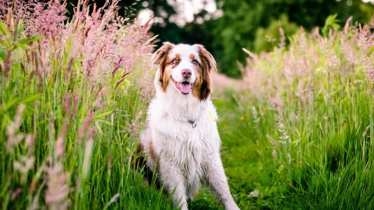 Australian Shepherd Wallpaper