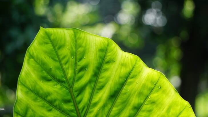 Big Green Leaf Wallpaper