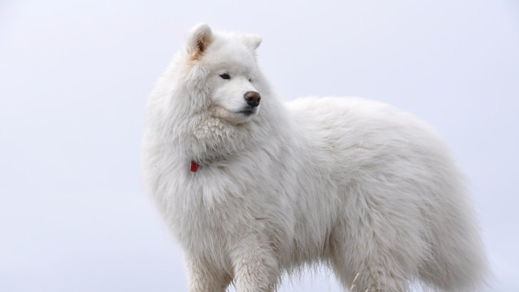 Big White Fluffy Samoyed Wallpaper