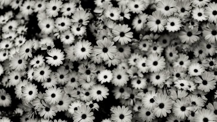 Black White Daisies Wallpaper Flowers Hd Wallpapers