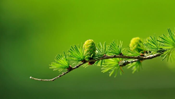 Branch of Pine Tree Wallpaper