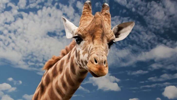 Funny Giraffe Wallpaper