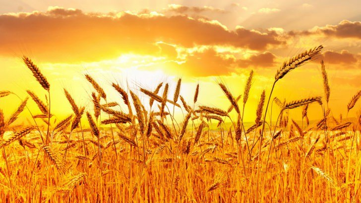 Golden Wheat Field At Sunset Wallpaper Nature Hd