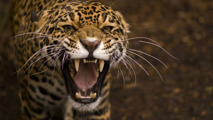Growling Jaguar Wallpaper