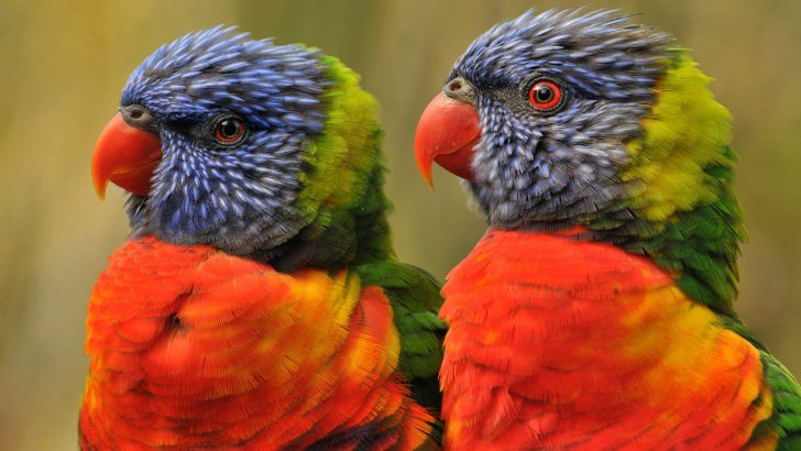 Lovebirds Wallpaper