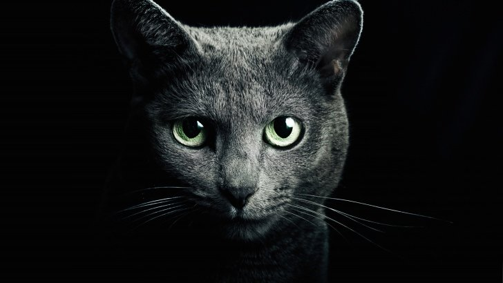 Russian Blue Cat Wallpaper
