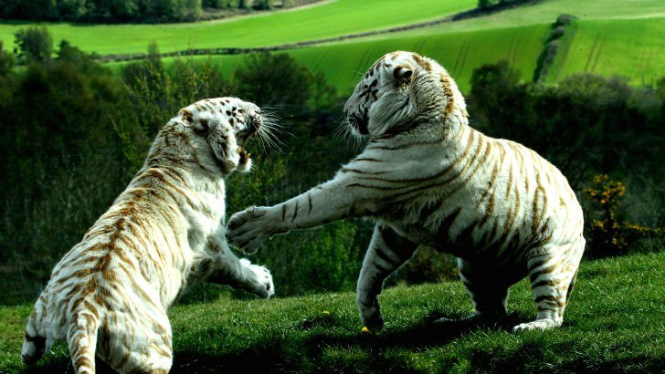 White Tigers Fighting Wallpaper