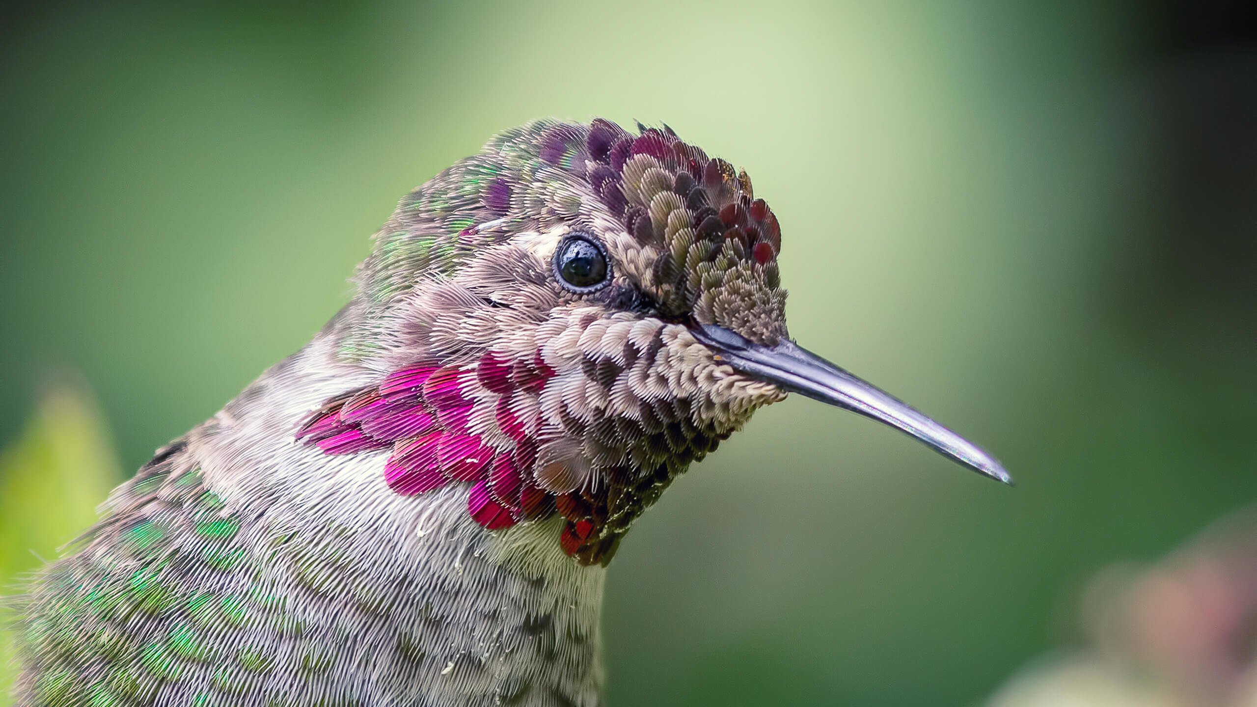 Anna's Hummingbird Wallpaper for Desktop 2560x1440