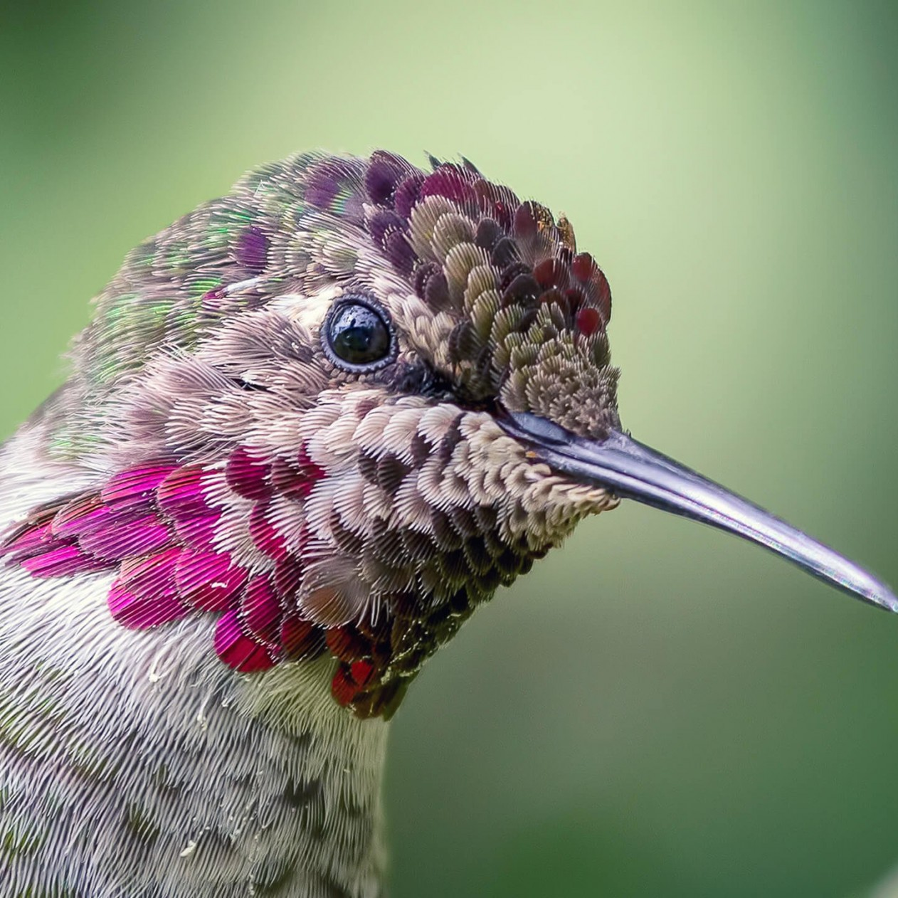Anna's Hummingbird Wallpaper for Apple iPad mini