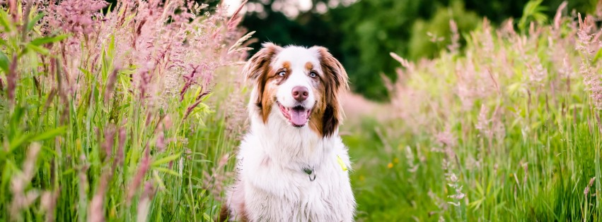 Australian Shepherd Wallpaper for Social Media Facebook Cover