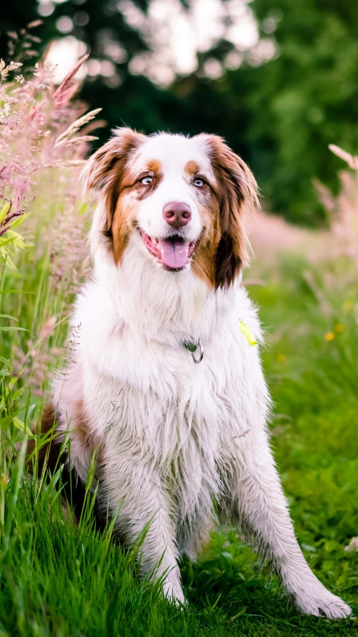 Australian Shepherd Wallpaper for SAMSUNG Galaxy S3