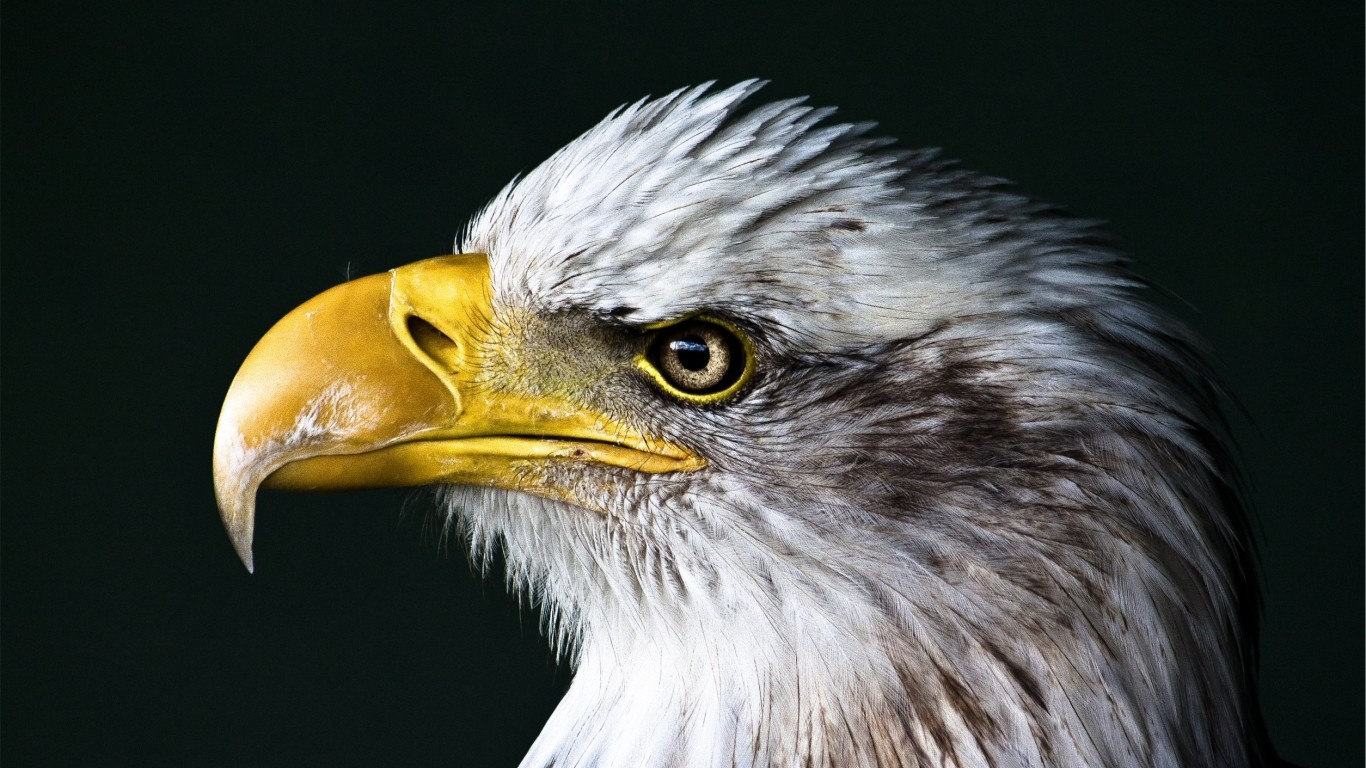 Bald Eagle Beak Wallpaper for Desktop 1366x768