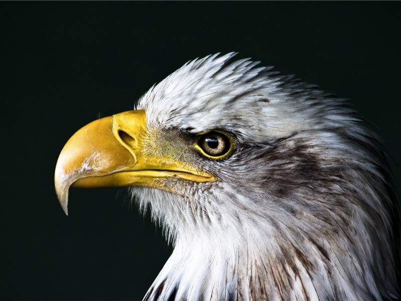 Bald Eagle Beak Wallpaper for Desktop 800x600