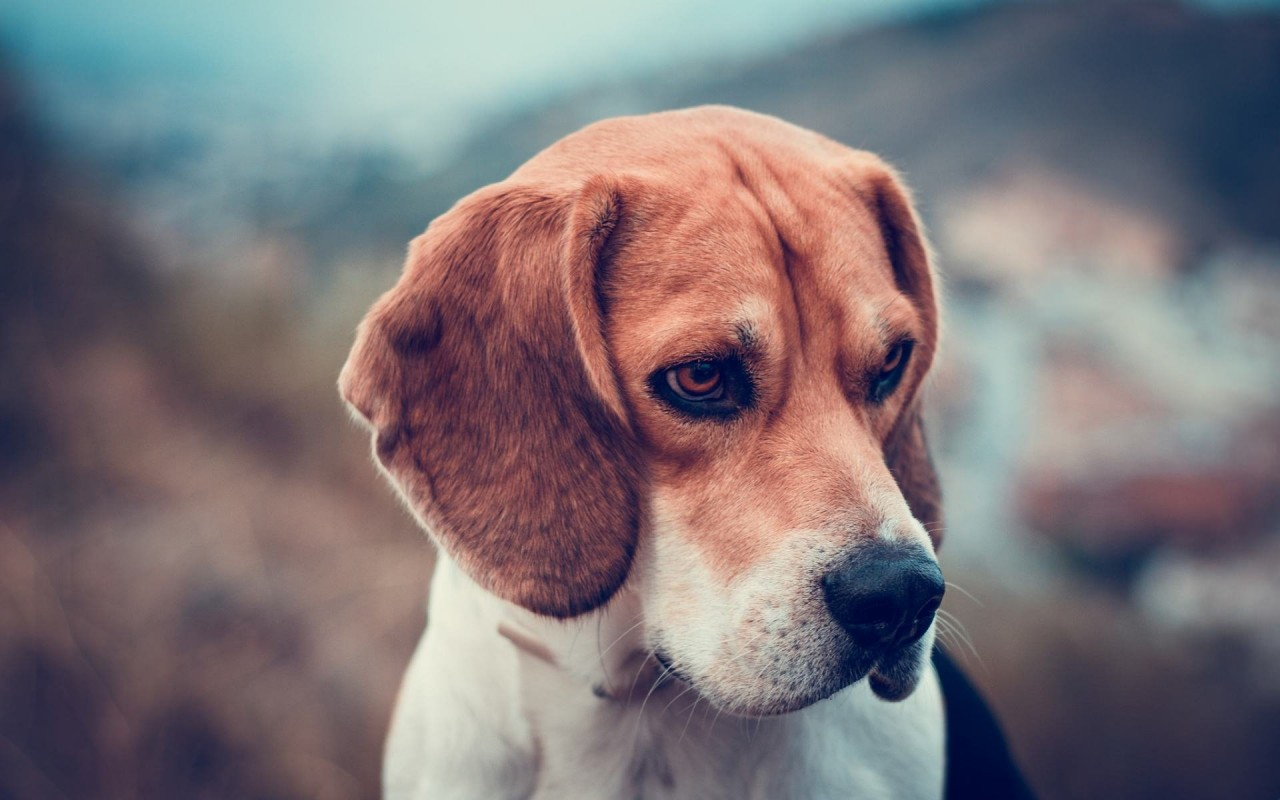 Beagle Dog Wallpaper for Desktop 1280x800