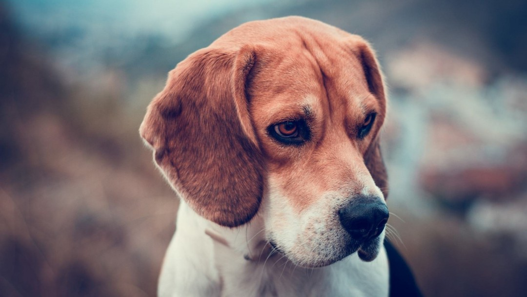 Beagle Dog Wallpaper for Social Media Google Plus Cover