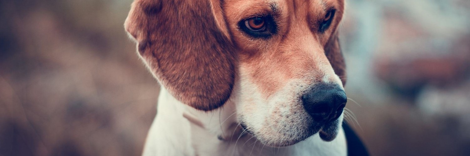 Beagle Dog Wallpaper for Social Media Twitter Header