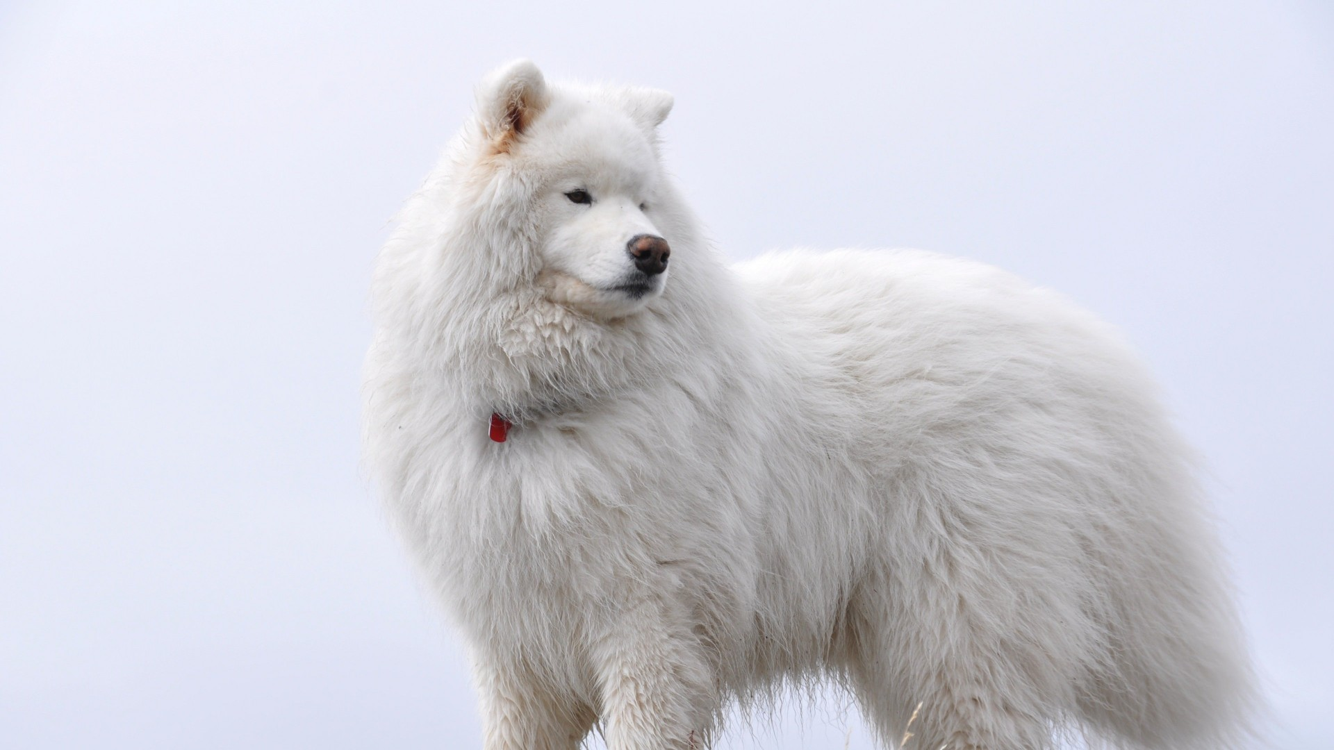 Big White Fluffy Samoyed Wallpaper for Desktop 1920x1080