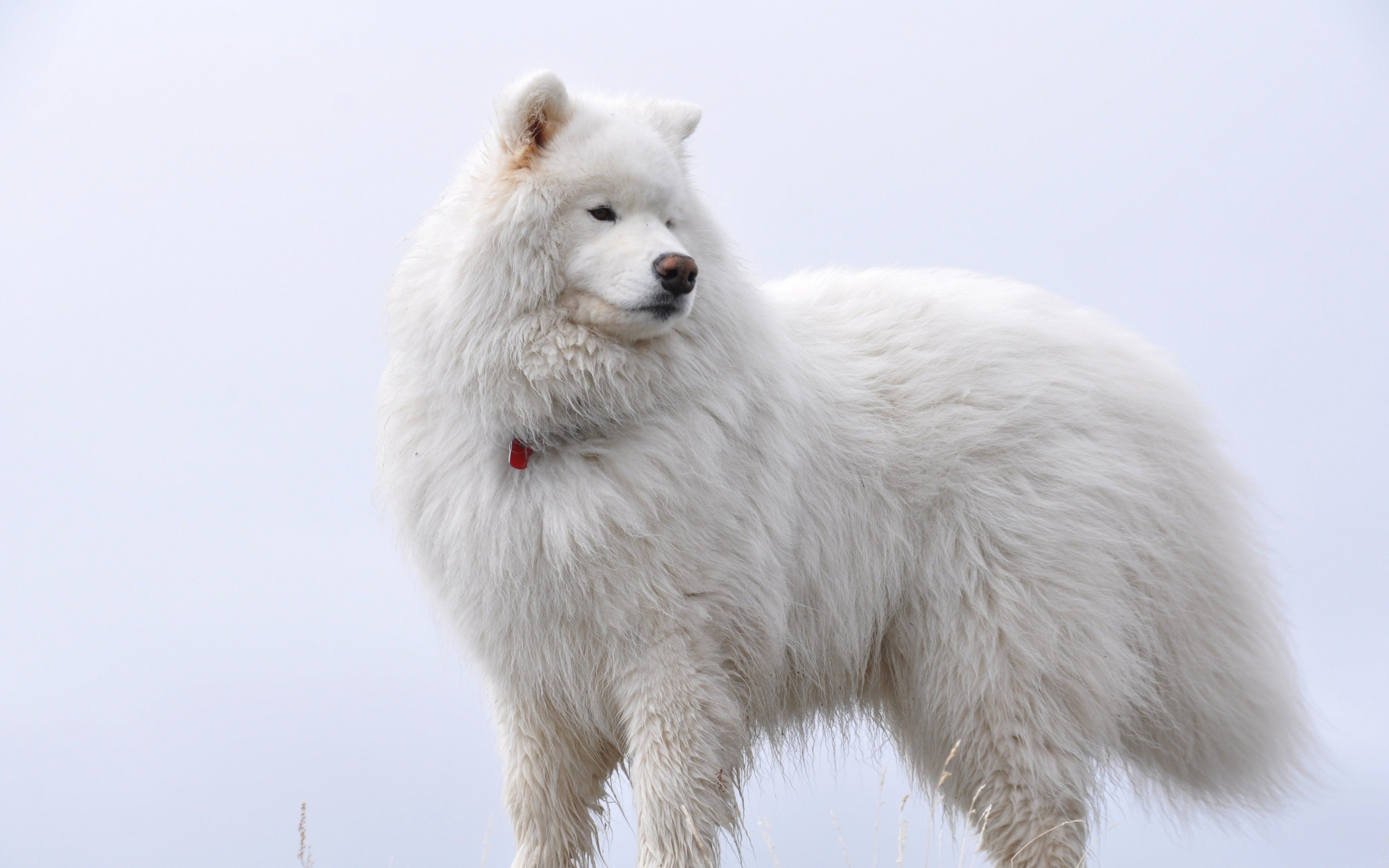 Big White Fluffy Samoyed Wallpaper for Desktop 2880x1800