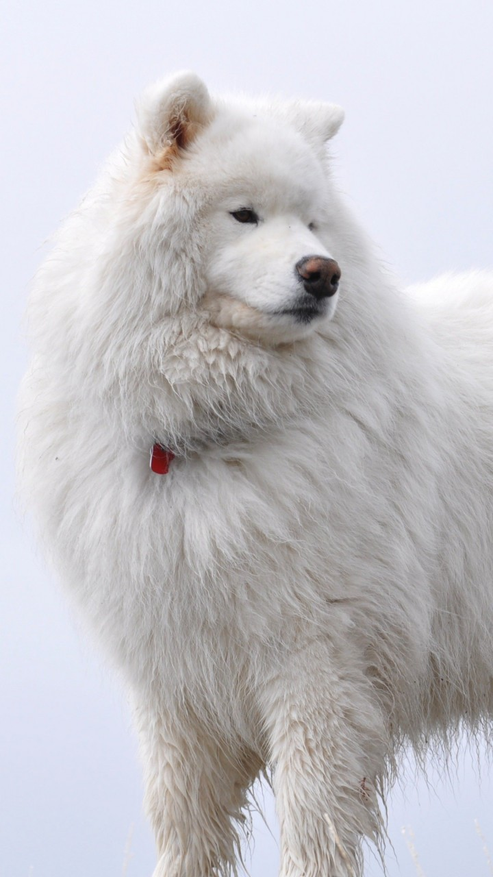 Big White Fluffy Samoyed Wallpaper for SAMSUNG Galaxy S3