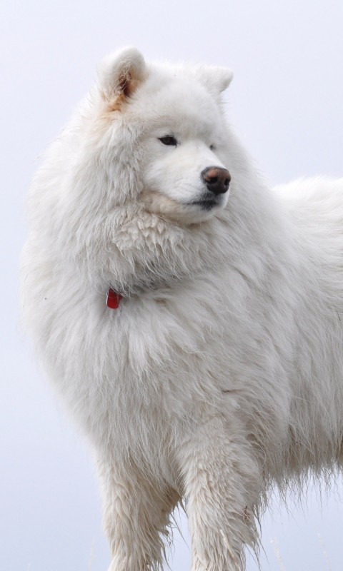 Big White Fluffy Samoyed Wallpaper for HTC Desire HD