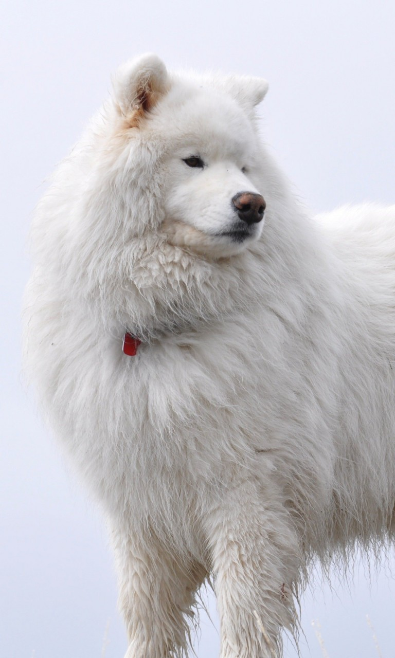 Big White Fluffy Samoyed Wallpaper for Google Nexus 4