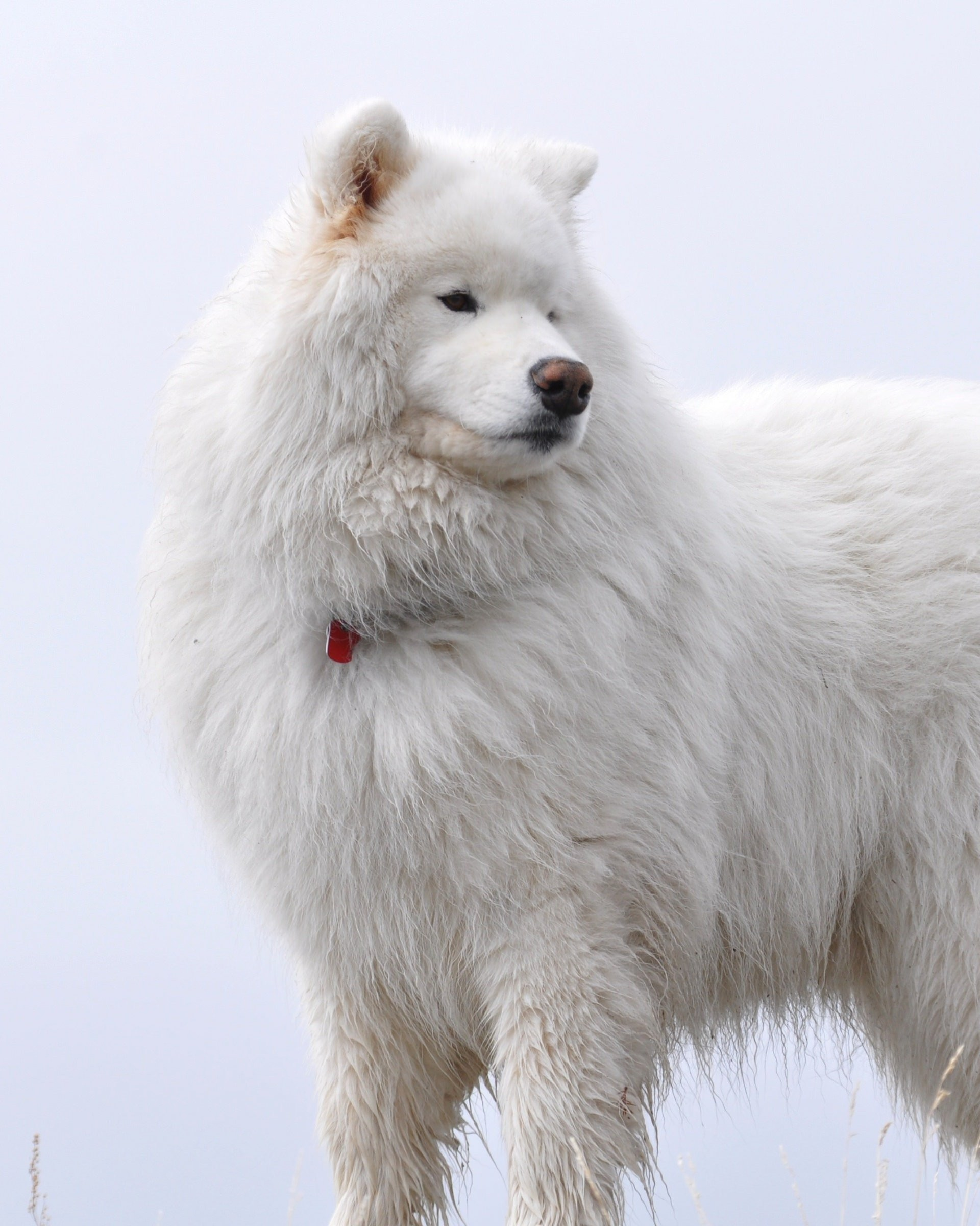 Big White Fluffy Samoyed Wallpaper for Google Nexus 7