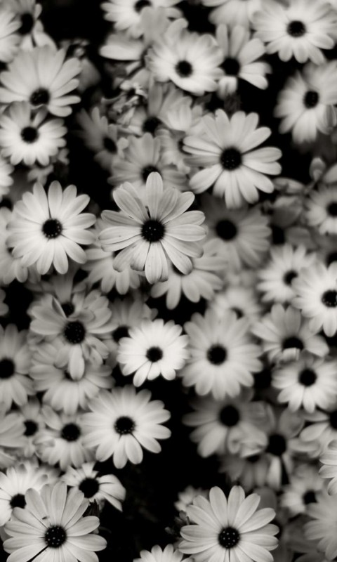 Black & White Daisies Wallpaper for HTC Desire HD