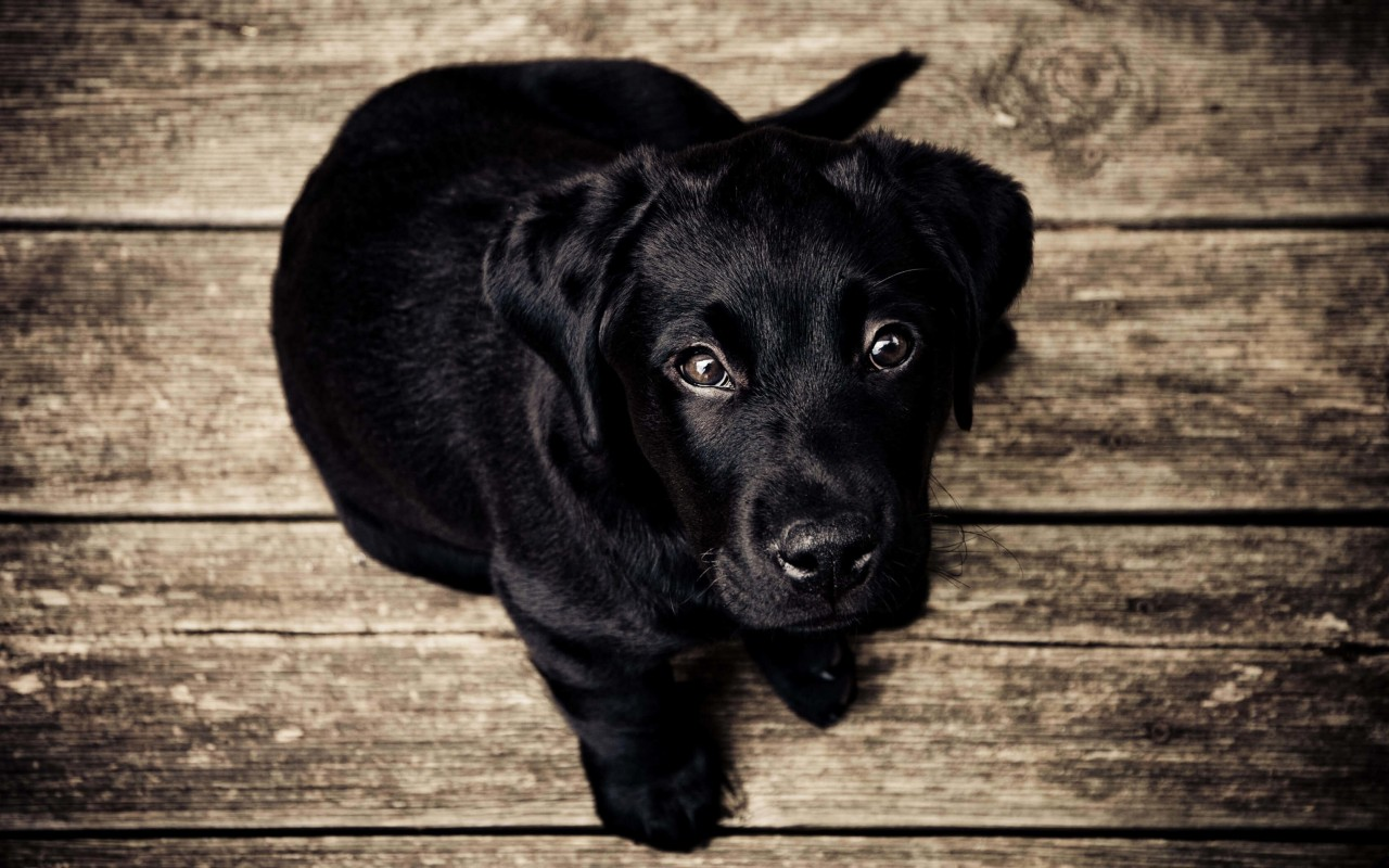 Black Lab Puppy Wallpaper for Desktop 1280x800