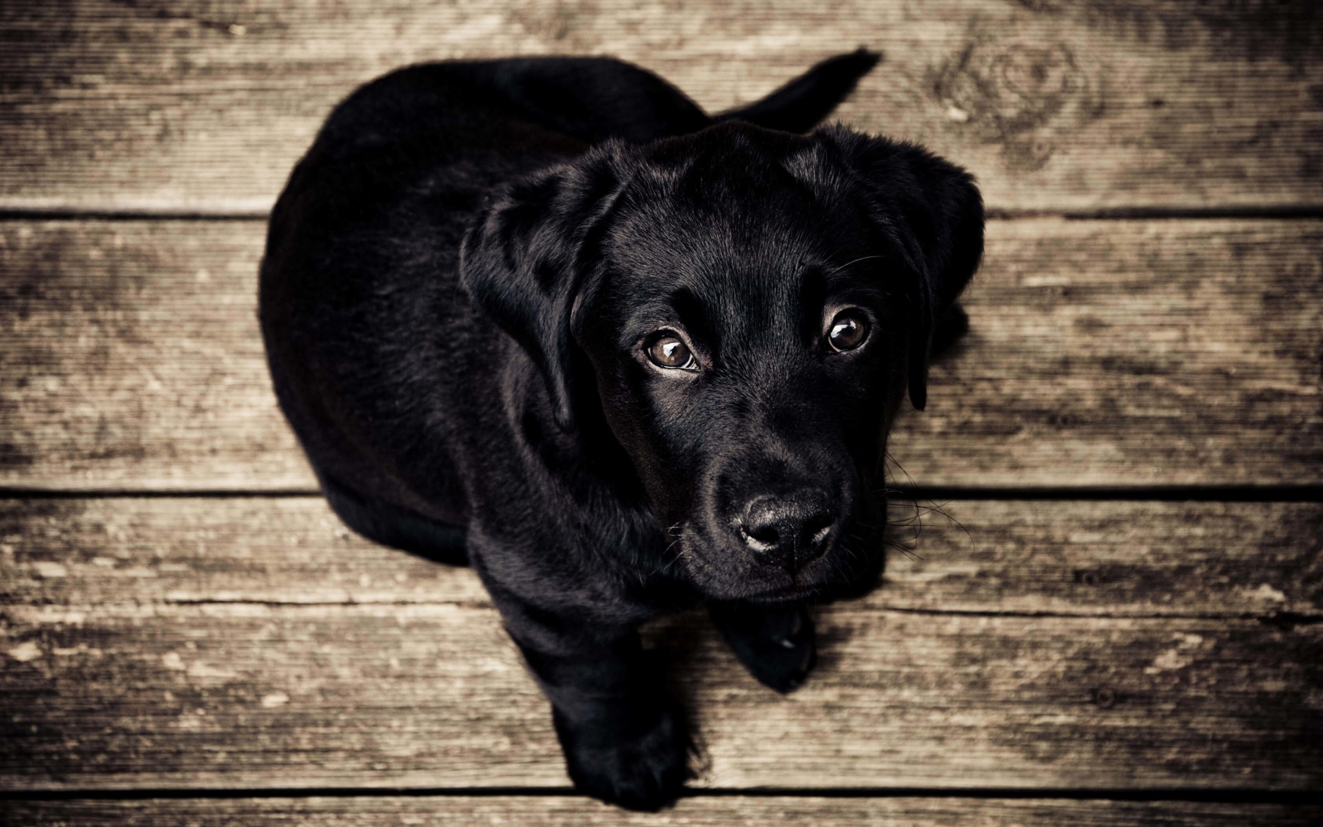 Black Lab Puppy Wallpaper for Desktop 1920x1200