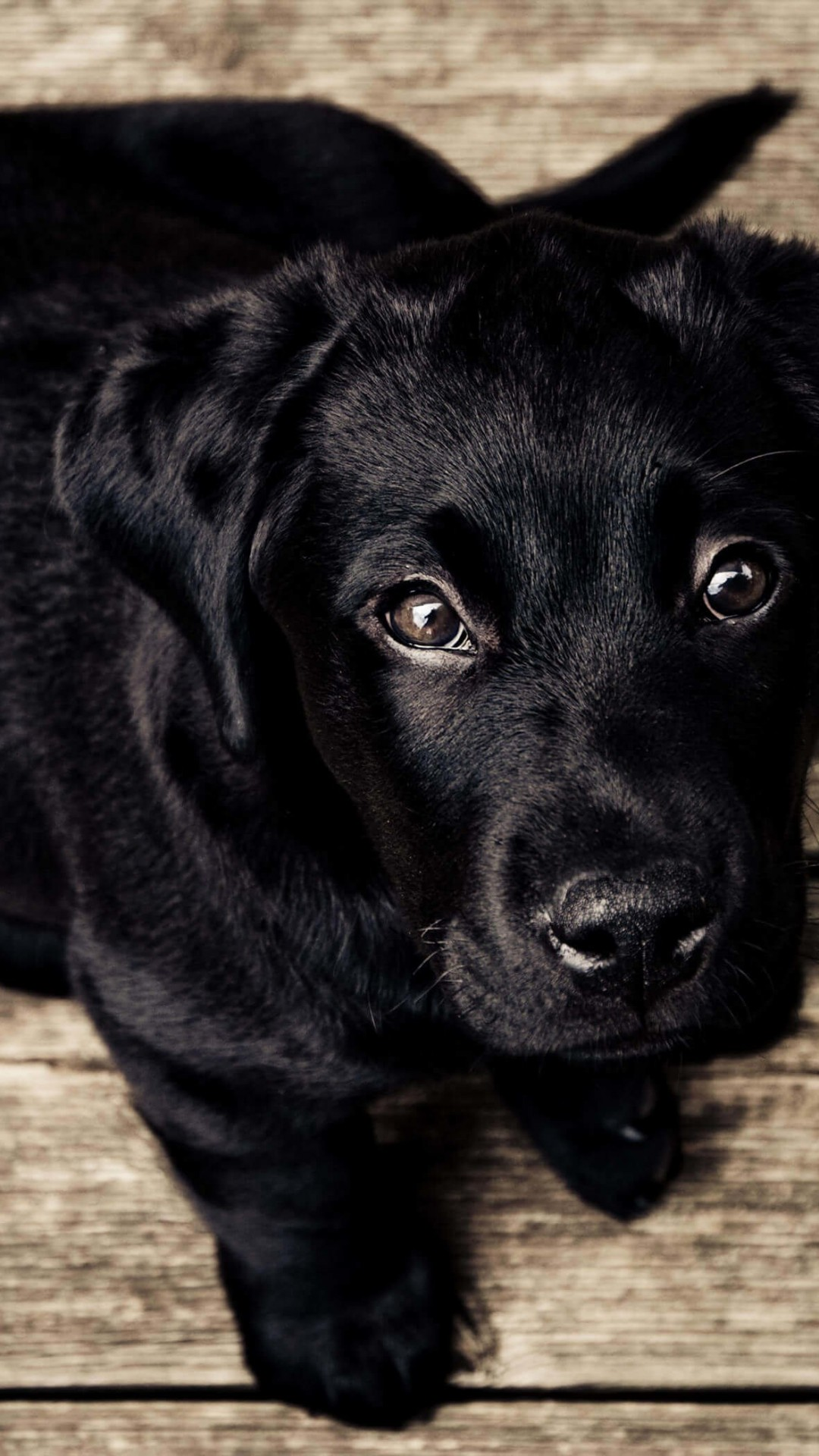 Black Lab Puppy Wallpaper for SAMSUNG Galaxy S4