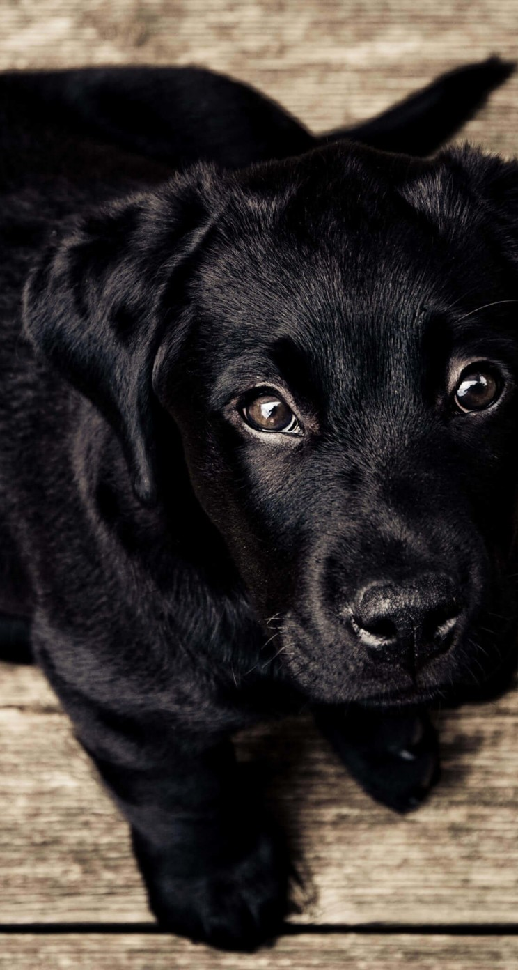Black Lab Puppy Wallpaper for Apple iPhone 5 / 5s