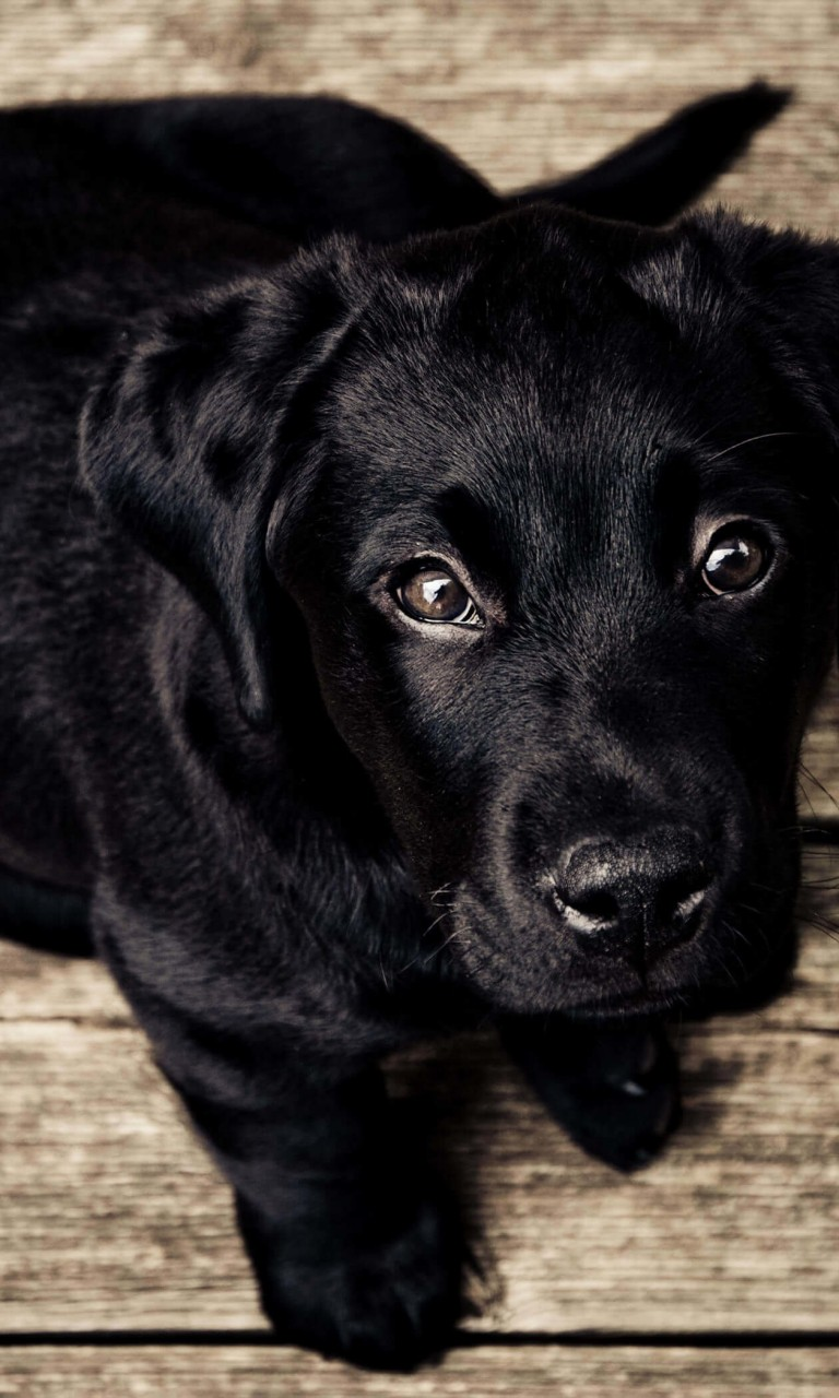 Black Lab Puppy Wallpaper for LG Optimus G