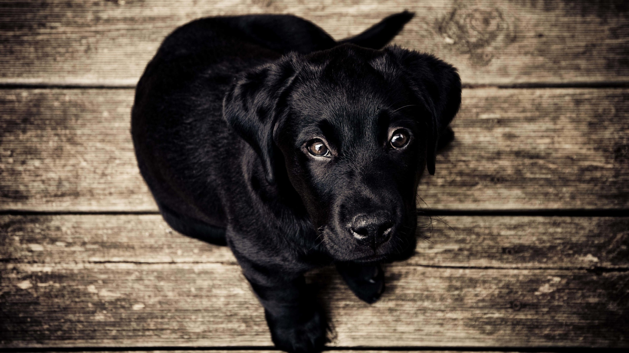 Black Lab Puppy Wallpaper for Social Media YouTube Channel Art