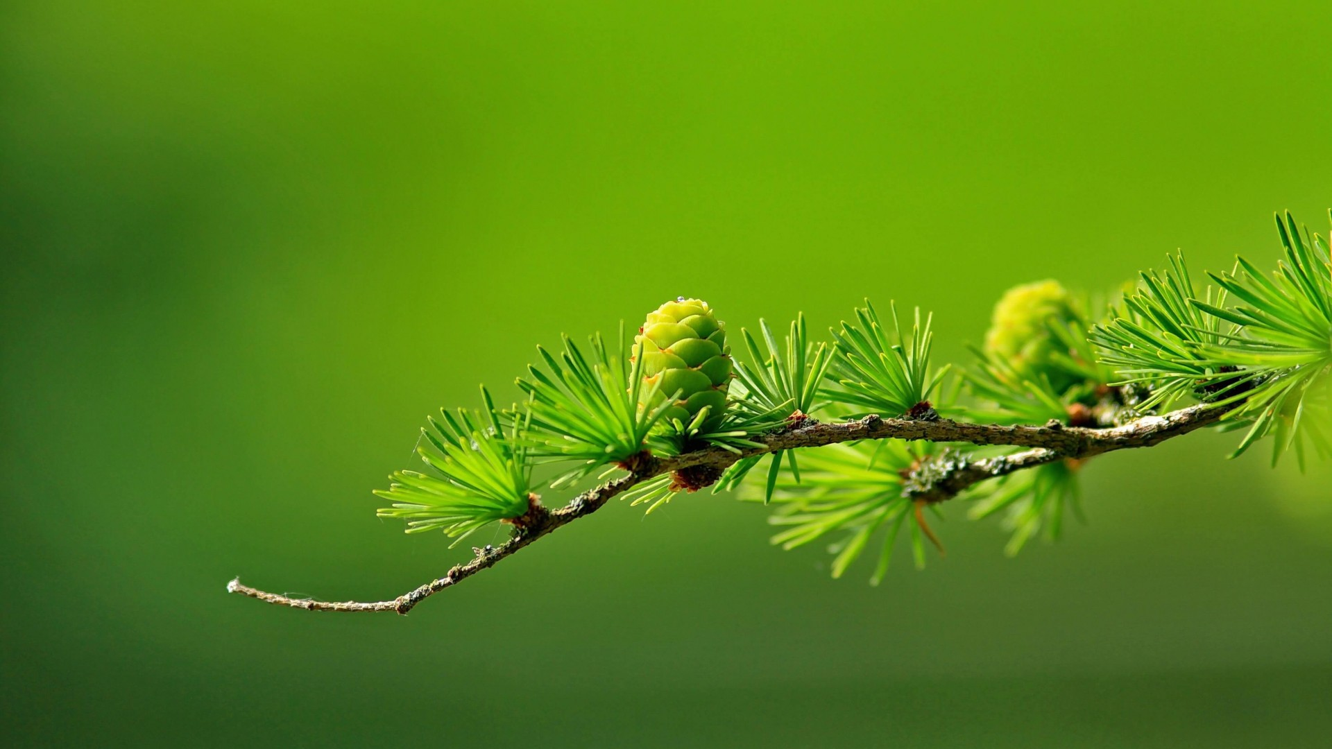 Branch of Pine Tree Wallpaper for Desktop 1920x1080
