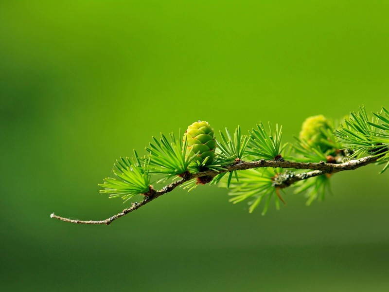 Branch of Pine Tree Wallpaper for Desktop 800x600