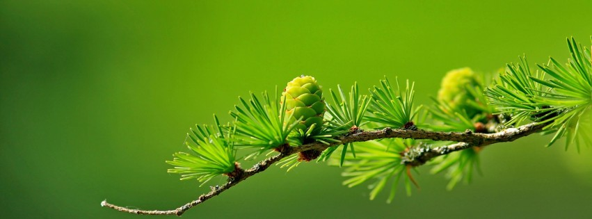 Branch of Pine Tree Wallpaper for Social Media Facebook Cover