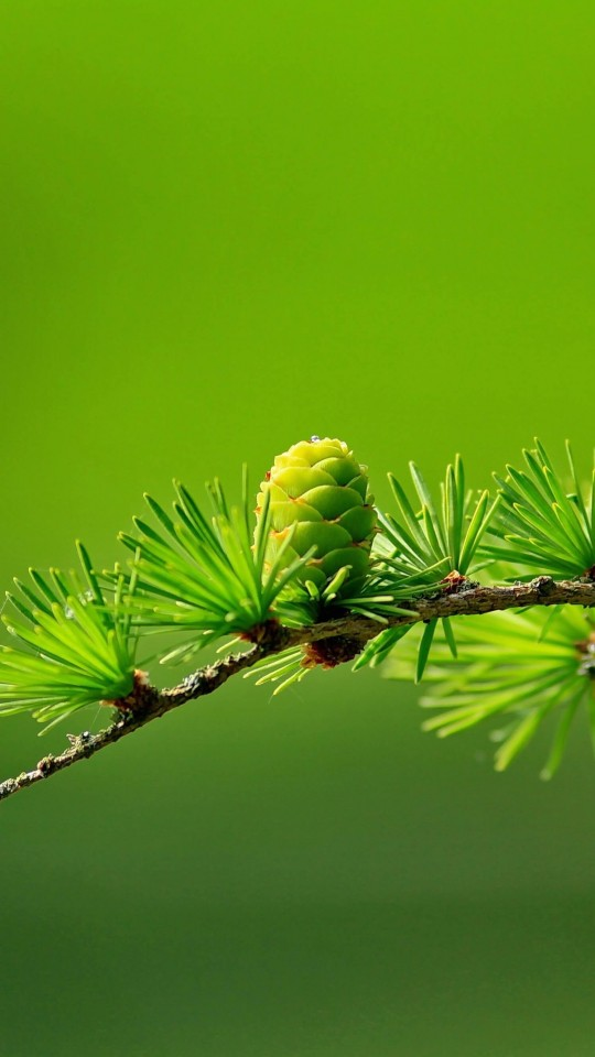 Branch of Pine Tree Wallpaper for SAMSUNG Galaxy S4 Mini