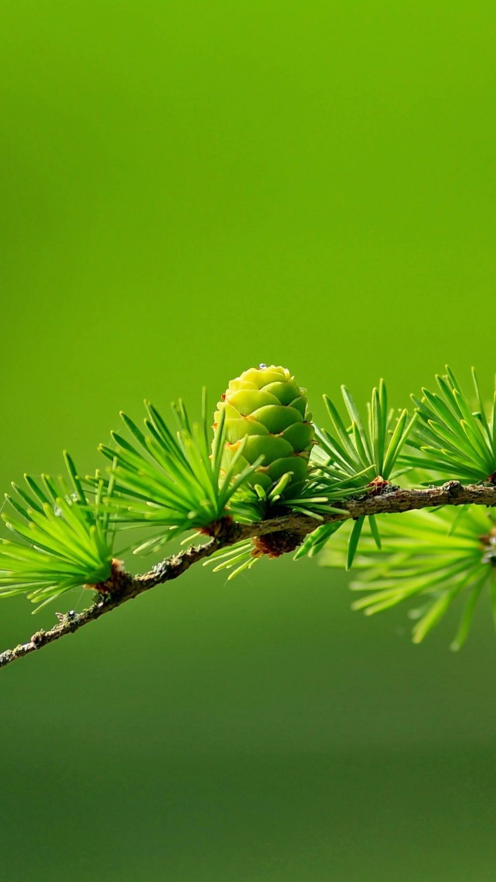 Branch of Pine Tree Wallpaper for SAMSUNG Galaxy S5 Mini