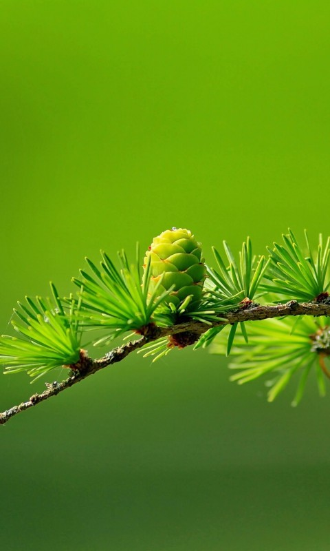 Branch of Pine Tree Wallpaper for HTC Desire HD