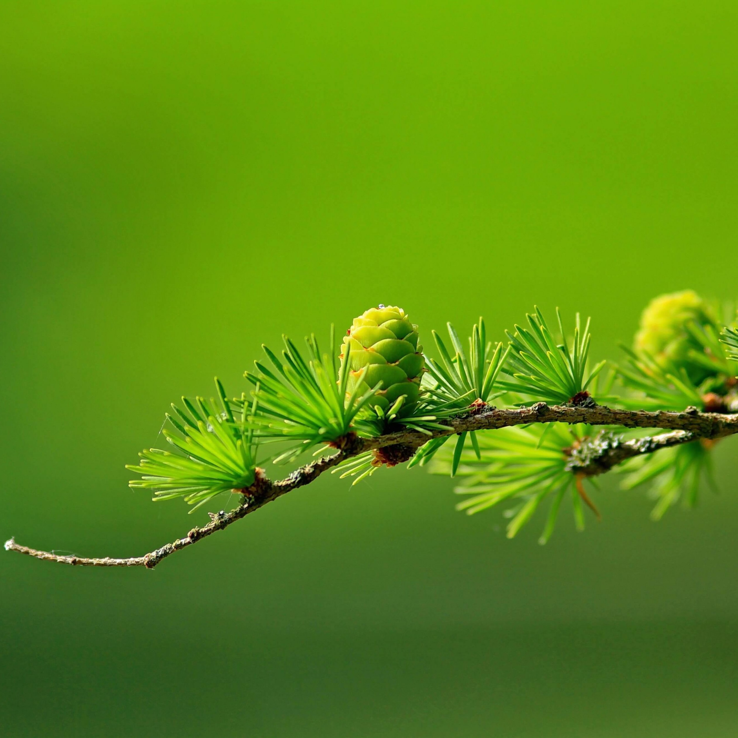 Branch of Pine Tree Wallpaper for Apple iPad 4