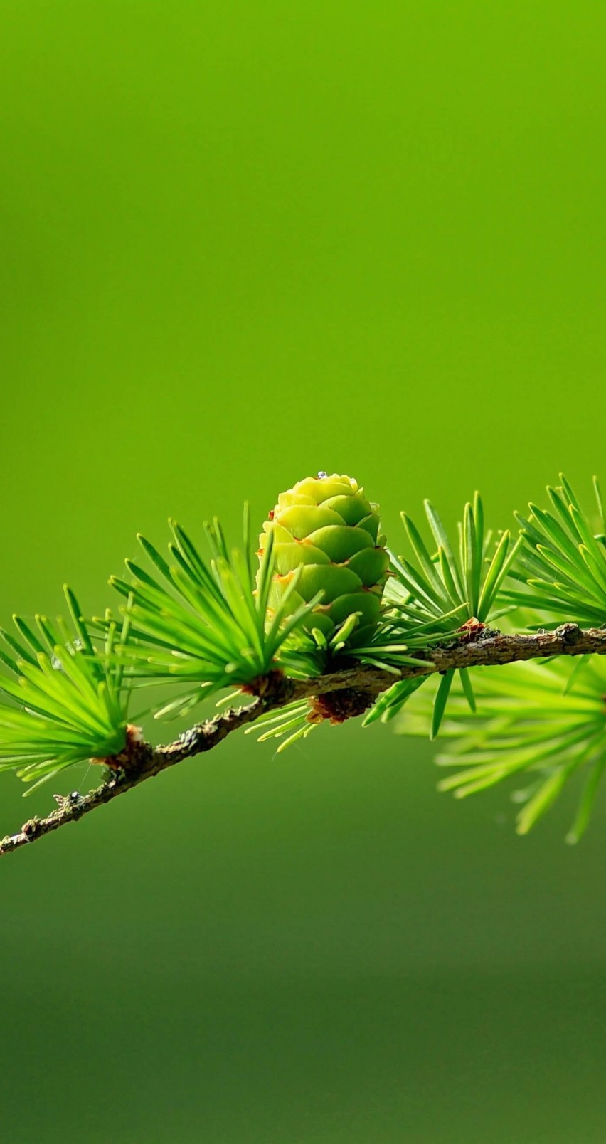 Hd wallpaper tree - Download Branch Of Pine Tree Hd Wallpaper For Iphone 6