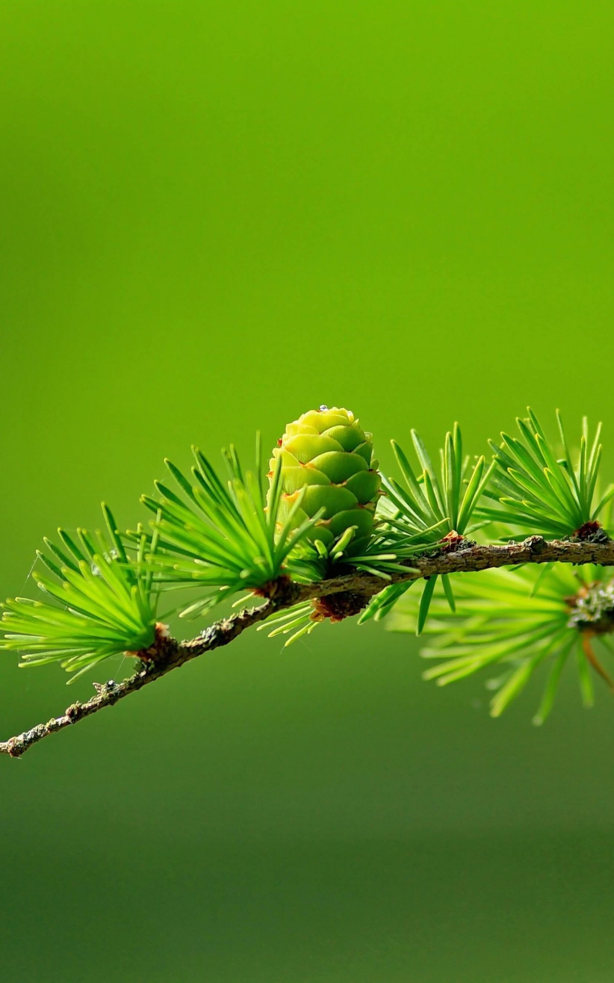Branch of Pine Tree Wallpaper for Amazon Kindle Fire HDX