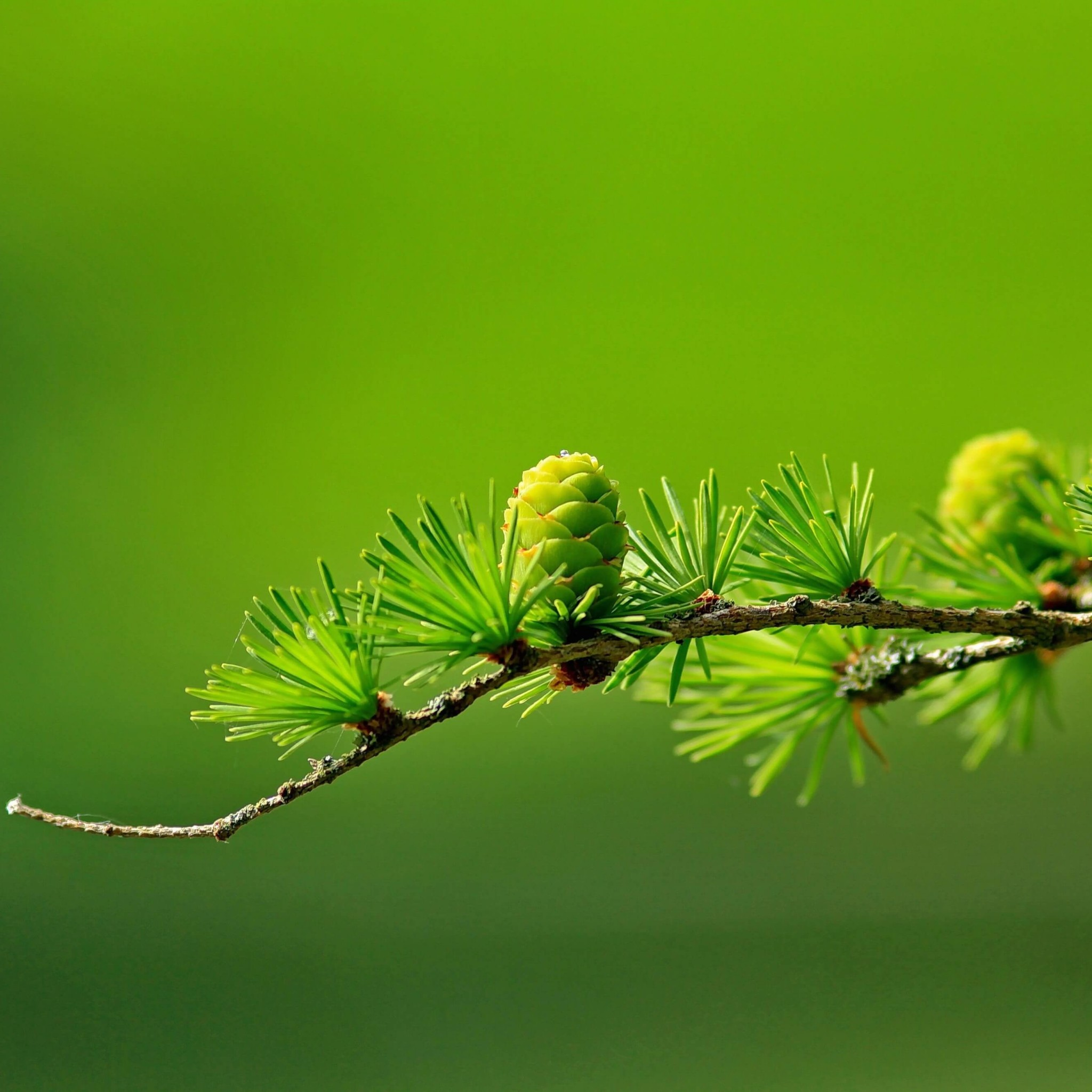 Branch of Pine Tree Wallpaper for Google Nexus 9
