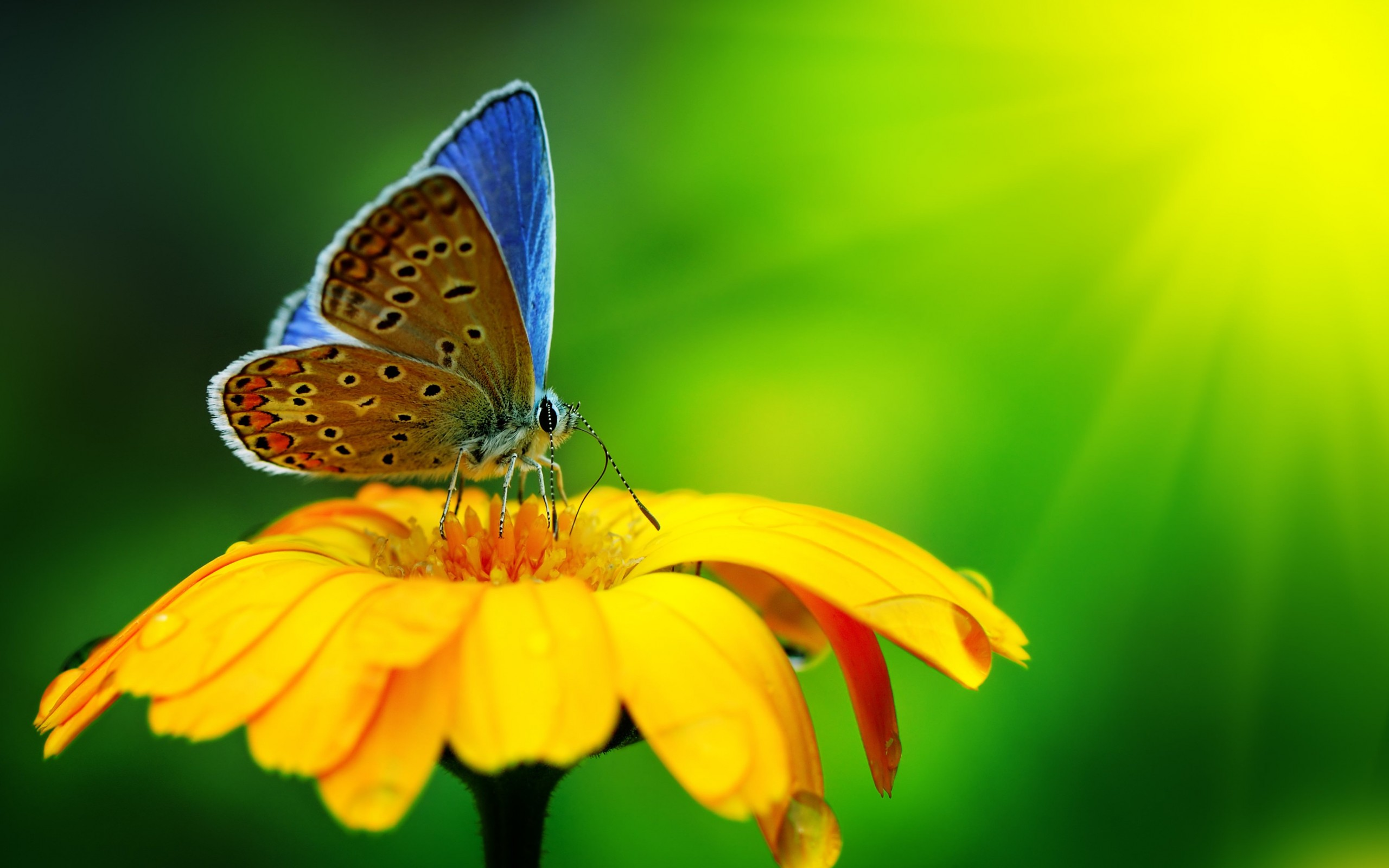 Butterfly Collecting Pollen Wallpaper for Desktop 2560x1600