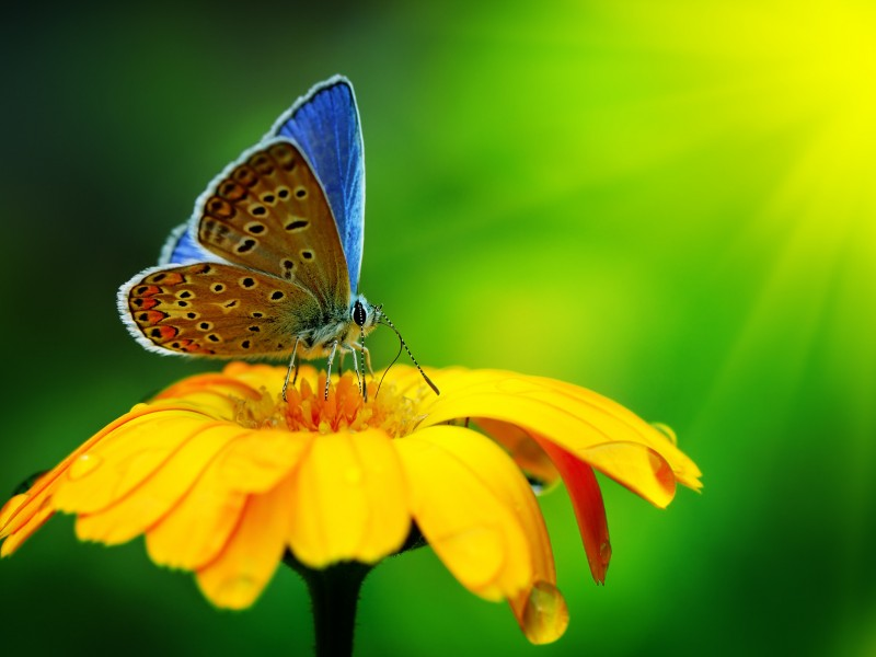 Butterfly Collecting Pollen Wallpaper for Desktop 800x600