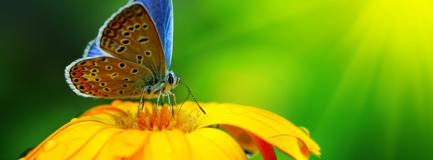 Butterfly Collecting Pollen Wallpaper for Social Media Facebook Cover