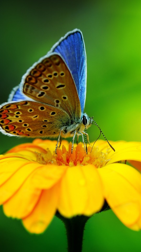 Butterfly Collecting Pollen Wallpaper for SAMSUNG Galaxy S4 Mini