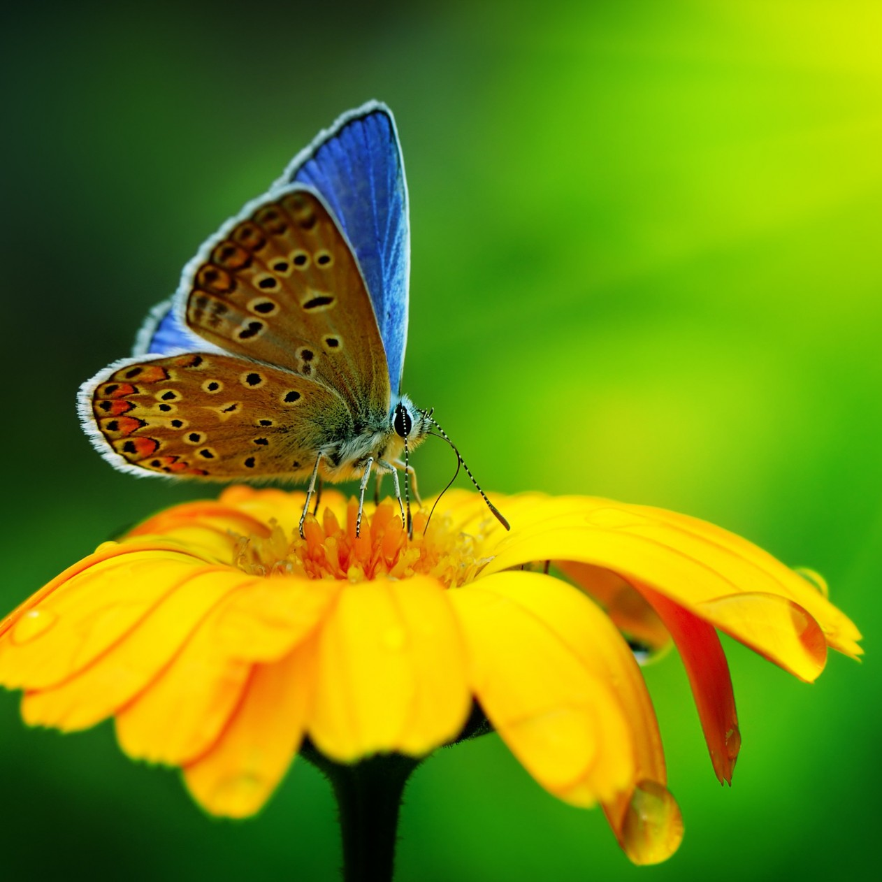 Butterfly Collecting Pollen Wallpaper for Apple iPad mini