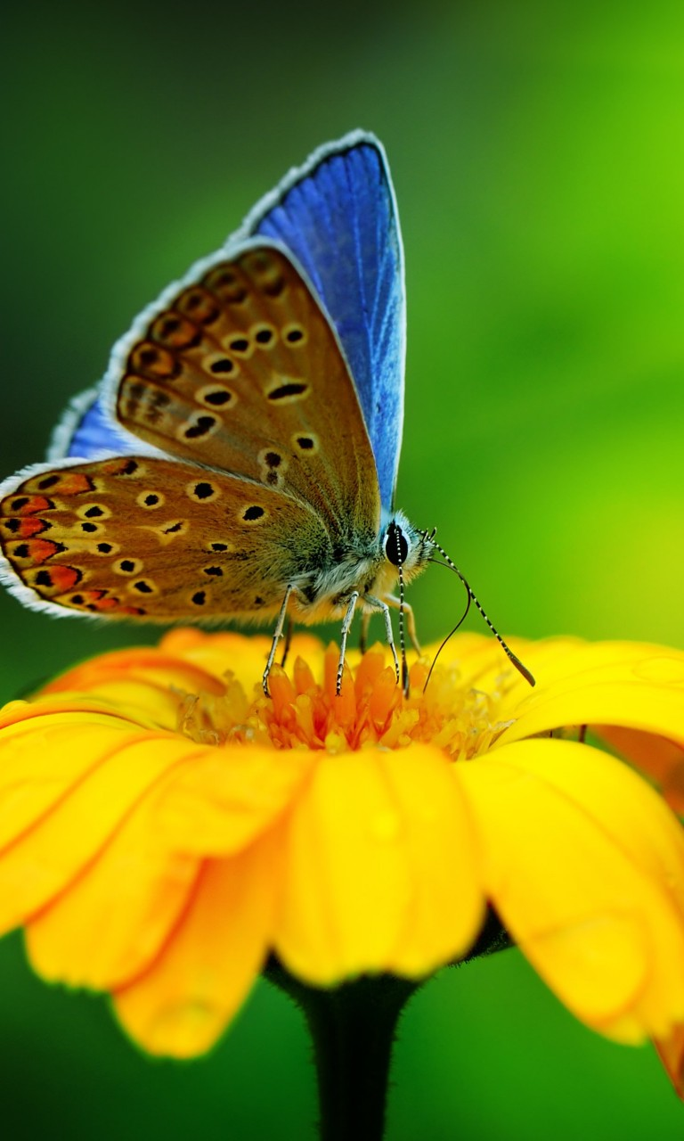 Butterfly Collecting Pollen Wallpaper for LG Optimus G