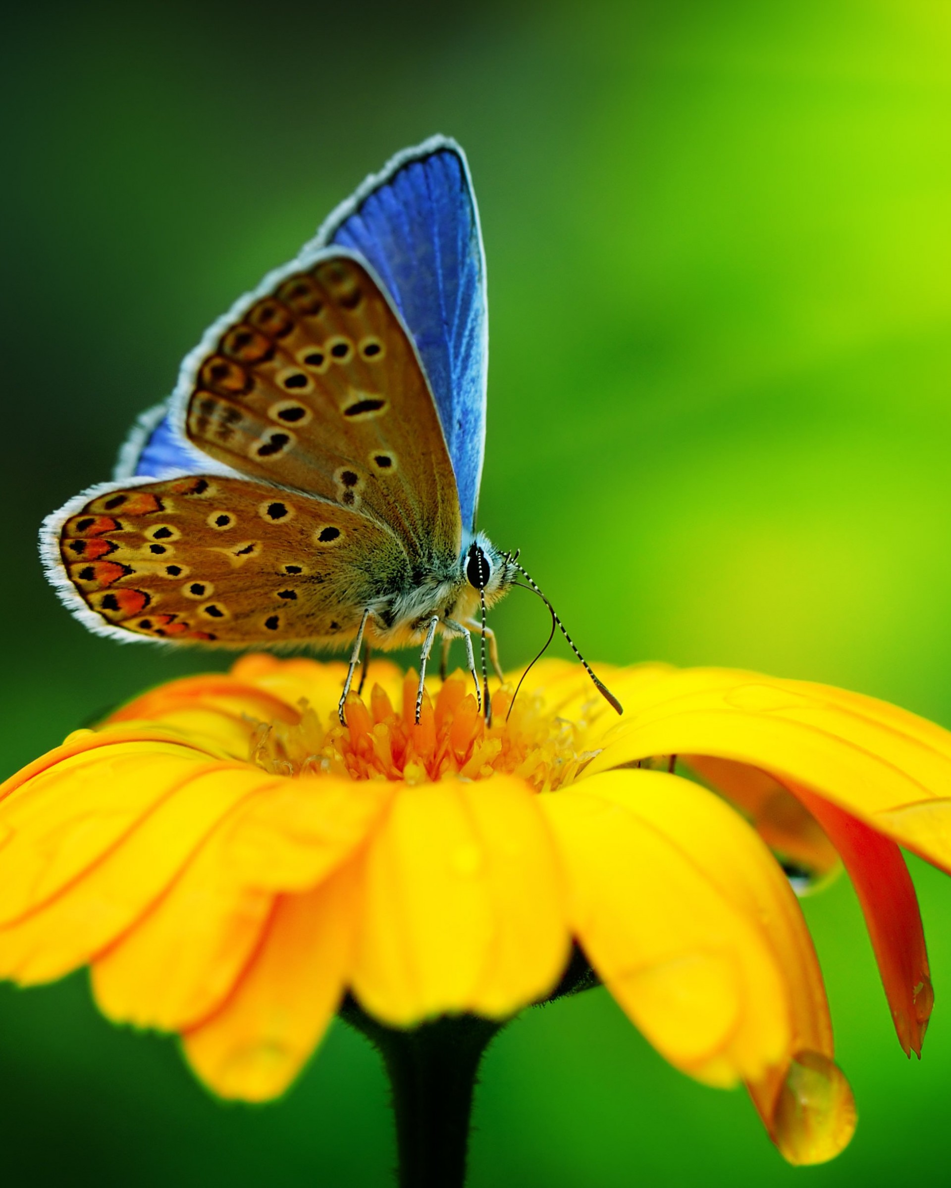 Butterfly Collecting Pollen Wallpaper for Google Nexus 7